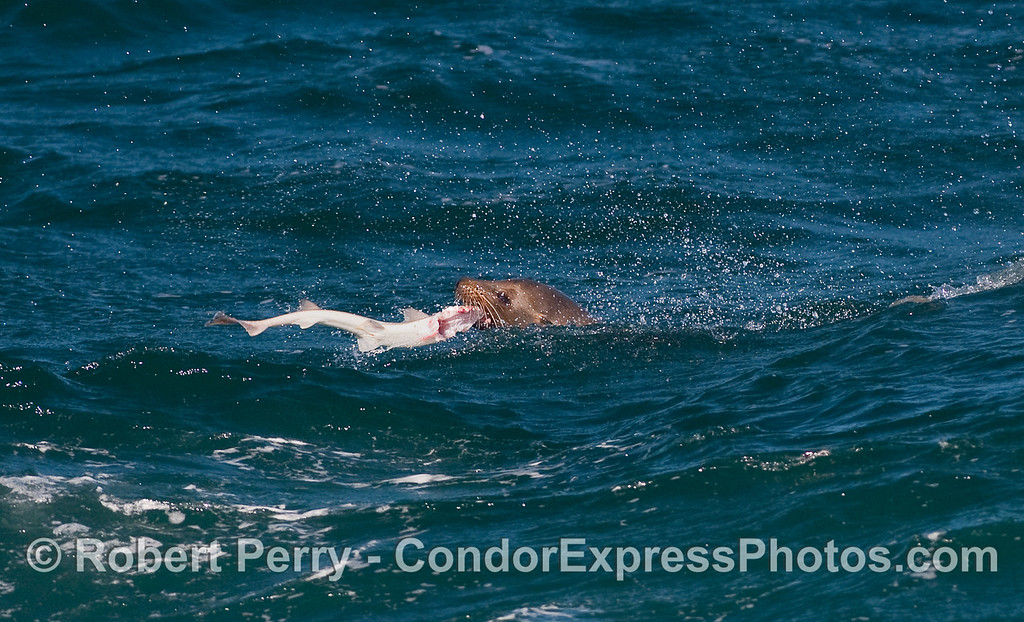 A young California Sea Lion (Zalophus californianus) dines on a Spiny Dogfish Shark (Squalus acanthias).