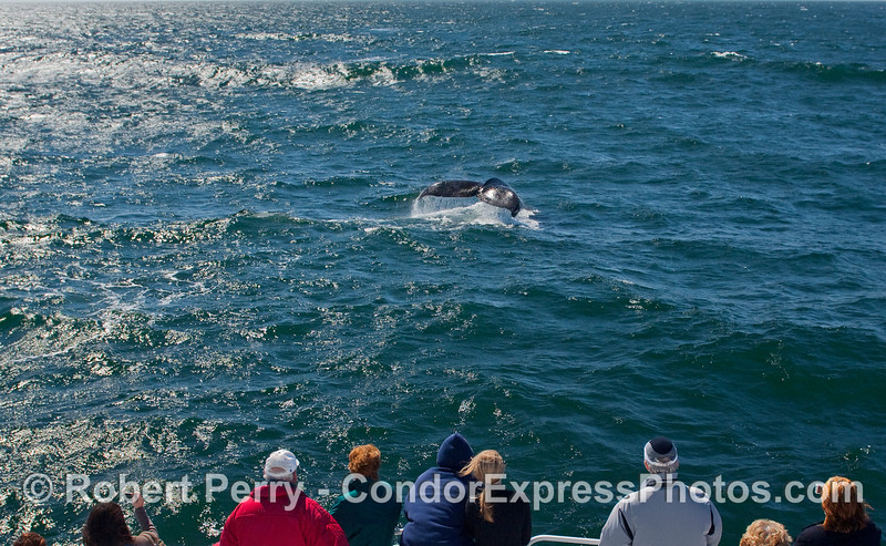 A Humpback Whale (Megaptera novaeangliae) throws up its tail flukes for the whalers on the bow of the Condor Express.