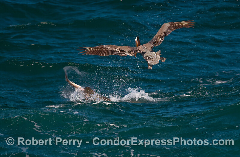 A young California Sea Lion (Zalophus californianus) slings a Spiny Dogfish Shark (Squalus acanthias) around to break off chunks for dinner.  A hungry Brown Pelican (Pelecanus occidentalis) swoops in to pick up any scraps.