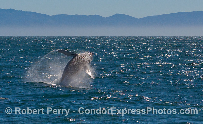 A sequence of photos showing a Humpback Whale (Megaptera novaeangliae) breaching - image 3 of 5.