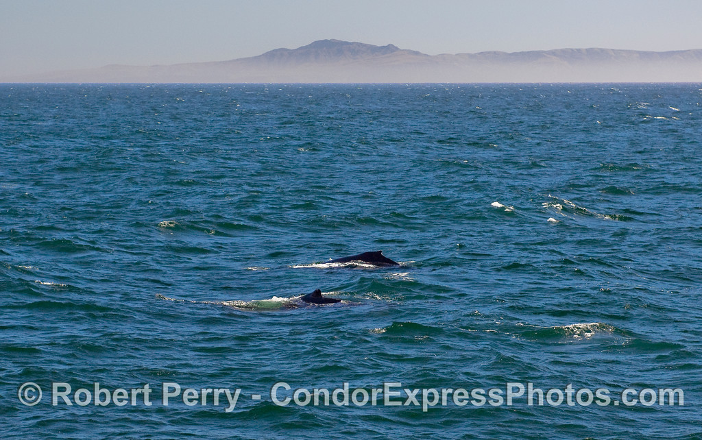 Two Humpback Whales (Megaptera novaeangliae) and Santa Cruz Island in back.
