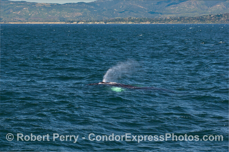 A windy day in the Santa Barbara Channel, and a Humpback Whale (Megaptera novaeangliae) sends up a tall spout.  More Mesa and Hope Ranch can be seen in the distance.