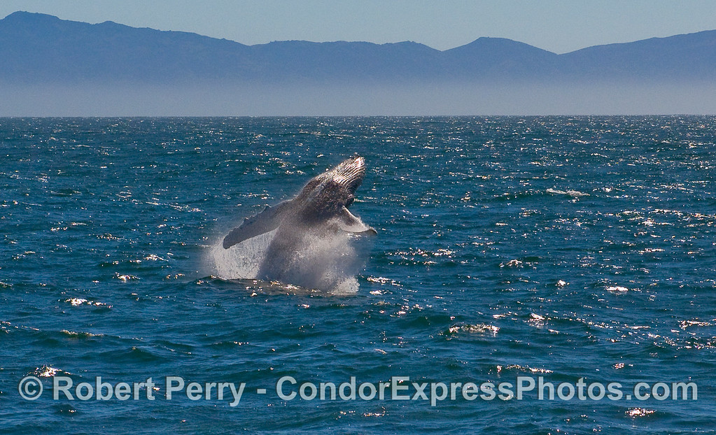 A sequence of photos showing a Humpback Whale (Megaptera novaeangliae) breaching - image 2 of 5.
