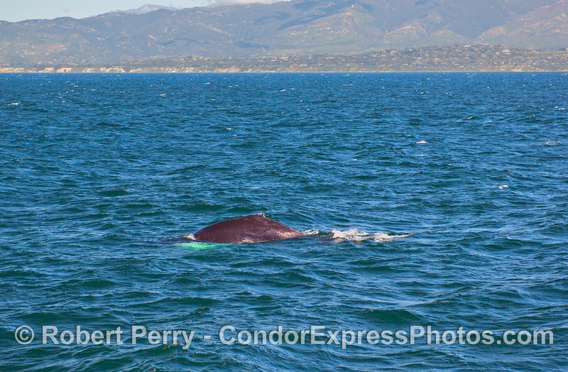 """The """"hump"""" of a Humpback Whale (Megaptera novaeangliae) with Hope Ranch, Santa Barbara in the background."""