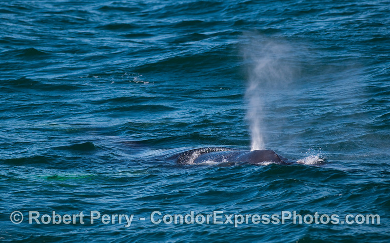 The Humpback Whale (Megaptera novaeangliae) with the white pectorals is seen here coming directly at the camera.