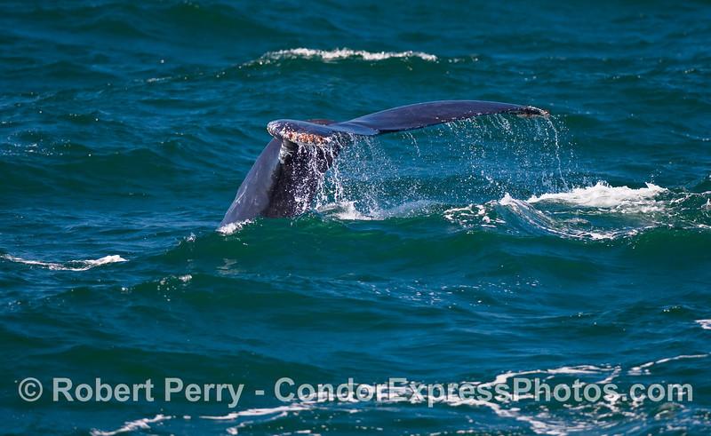 A Humpback Whale (Megaptera novaeangliae) begins a deep dive.