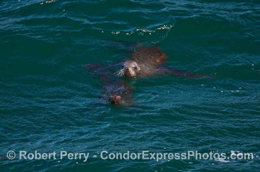 Two California Sea Lions (Zalophus californianus).