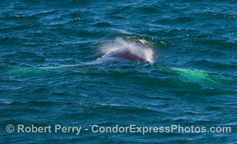 A Humpback Whale (Megaptera novaeangliae) spouts - seen looking from tail towards the head...white pectorals underwater.