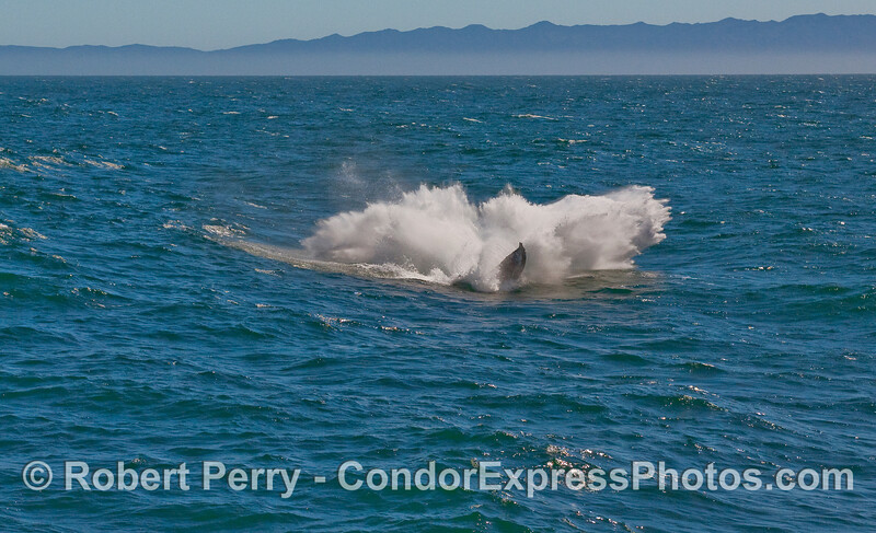 Second image in a row of the frisky Humpback Whale (Megaptera novaeangliae) breaching.