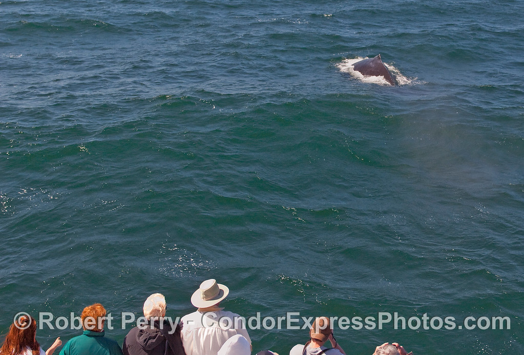 Humpback Whale (Megaptera novaeangliae) and whalers.