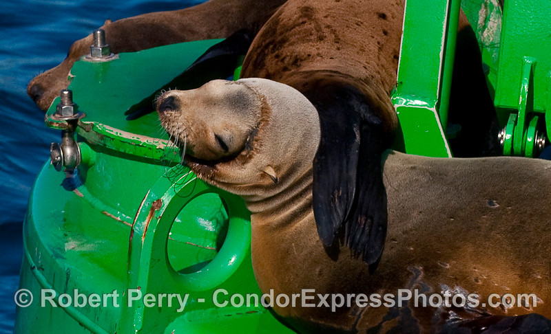 """A California Sea Lion (Zalophus californianus) rests on the harbor entrance buoy, Santa Barbara.  Note the deep """"neclace"""" scar from entanglement in a nylon monofilament gill net."""