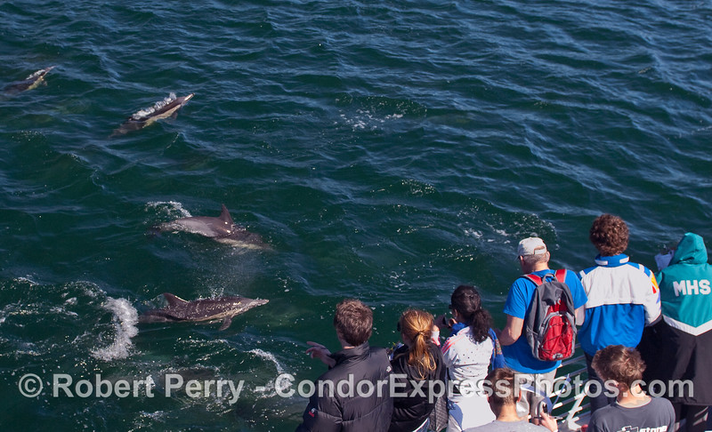 More whalers and marine biology students in the midst of the Common Dolphins (Delpinus capensis).