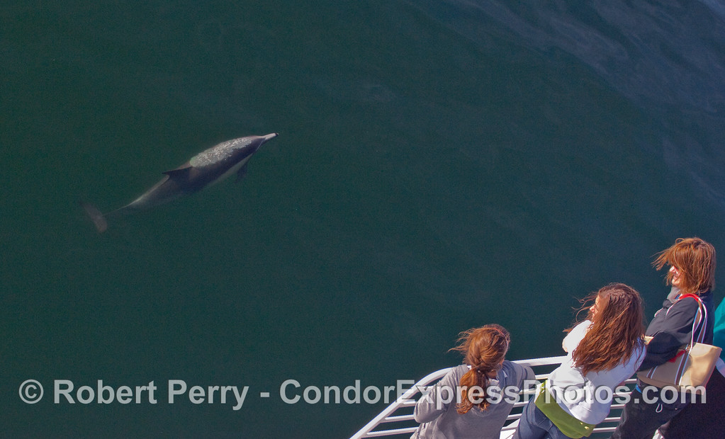 Whalers on board the Condor Express watch a friendly Common Dolphin (Delpinus capensis) blow bubbles underwater.