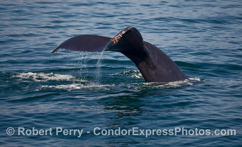 Another Humpback Whale (Megaptera novaeangliae) tail fluke.