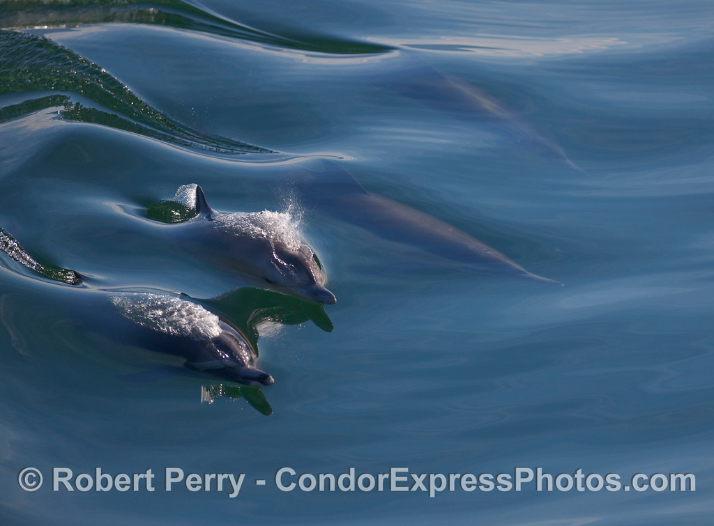 Common Dolphins (Delpinus capensis) ride a very glassy wave.