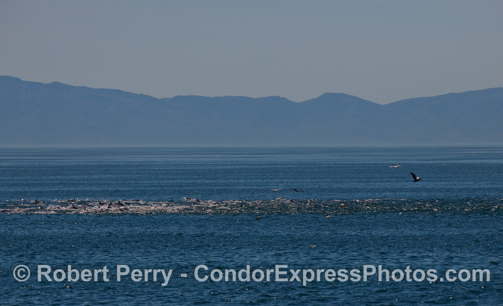A biological front, a line of Common Dolphins (Delpinus capensis) in the Santa Barbara Channel with Santa Cruz Island in the back.