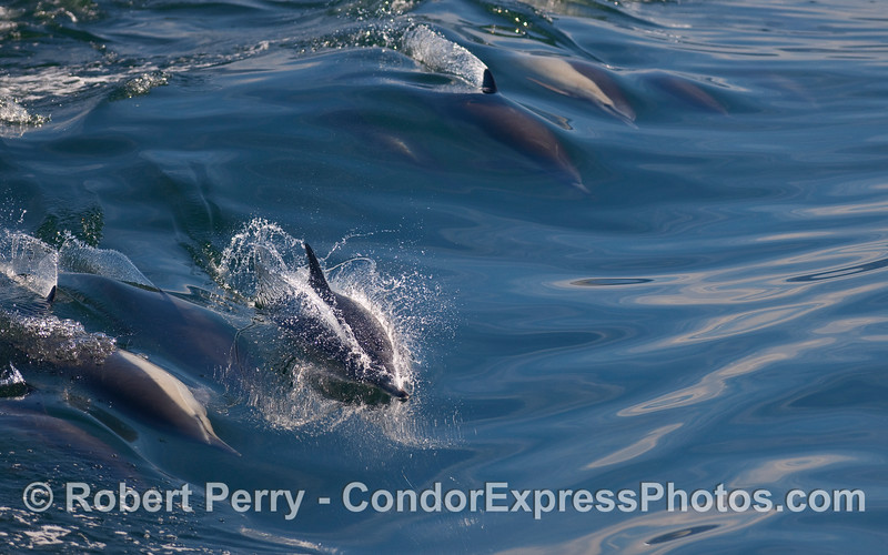 All sorts of fun as Common Dolphins (Delpinus capensis) ride a small open ocean wave.