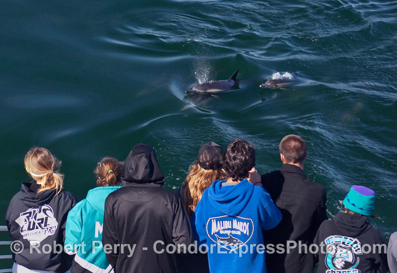 Several Common Dolphins (Delpinus capensis) come in to study some Malibu High marine biology students.