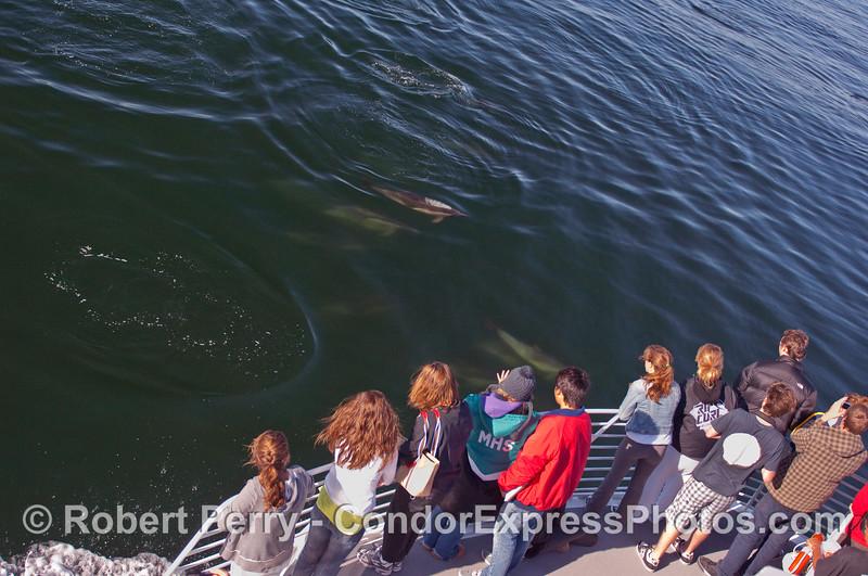 Malibu High School marine biology students (Homo sapiens) study a herd of friendly Common Dolphins (Delpinus capensis).
