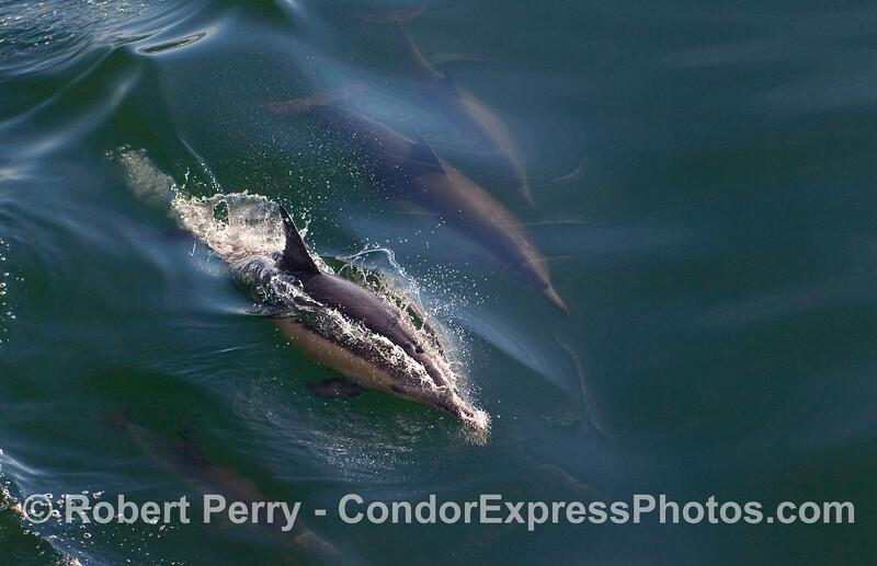 Common Dolphins (Delpinus capensis) leave a sparkling wake.