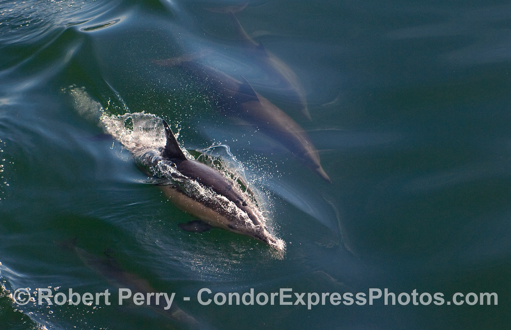 Common Dolphins (Delpinus capensis) leave a sparkling wake.