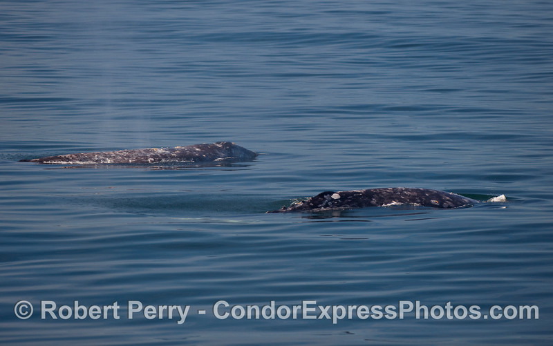 Two Gray Whales (Eschrichtius robustus) side-by-side on a glassy surface.