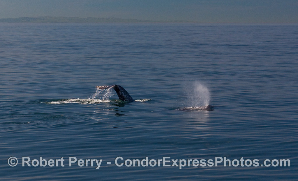 Two Gray Whales (Eschrichtius robustus): one tail fluke and one spout.  Santa Cruz Island is visible in the background.