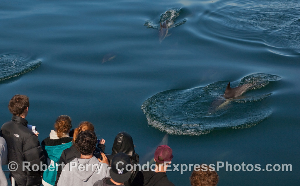 Beautiful teal colored glassy ocean water and a herd of Common Dolphins (Delpinus capensis).