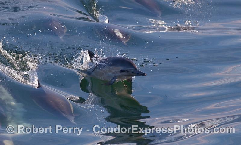 Delphinus capensis surfing wake 2010 03-16 SB Channel MHS b - 018