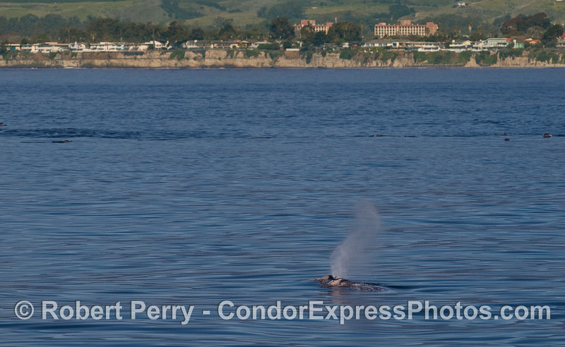 A Gray Whale (Eschrichtius robustus) spouts with UCSB in the background.