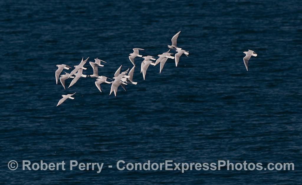 A flock of Bonaparte's Gulls (Larus philadelphia) on the open ocean.
