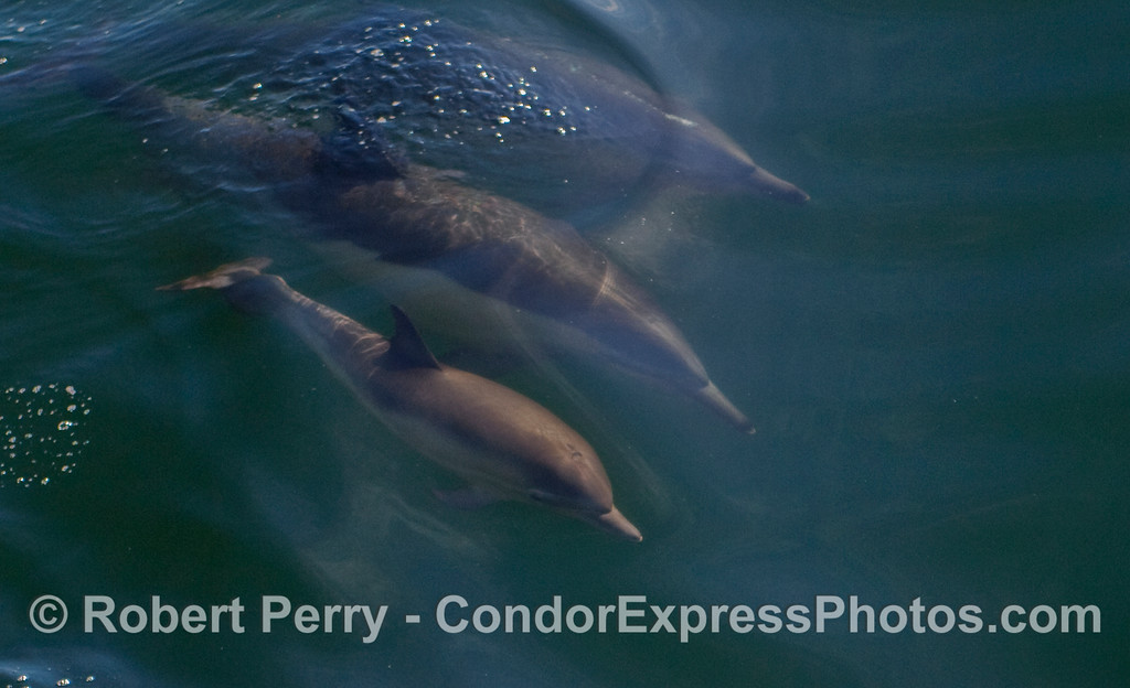 Common Dolphins (Delpinus capensis) underwater with a juvenile (in foreground).