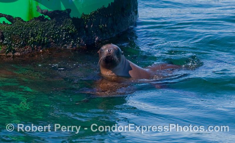 A young California Sea Lion (Zalophus californianus) waits for a chance to jump up on the Santa Barbara Harbor entrance buoy.