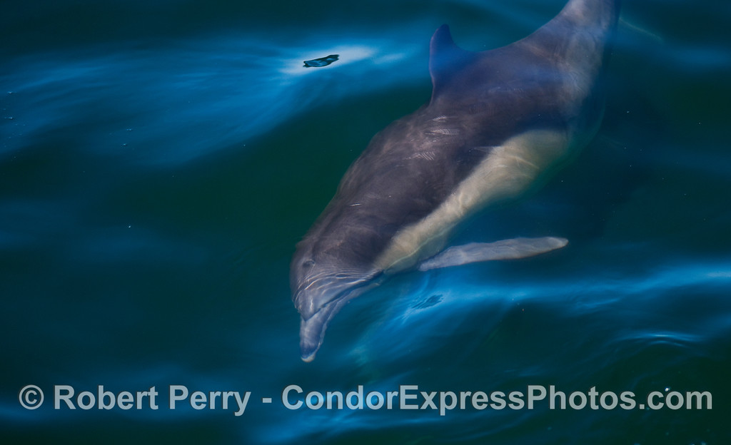 A Common Dolphin (Delpinus capensis) takes a close look at the camera.