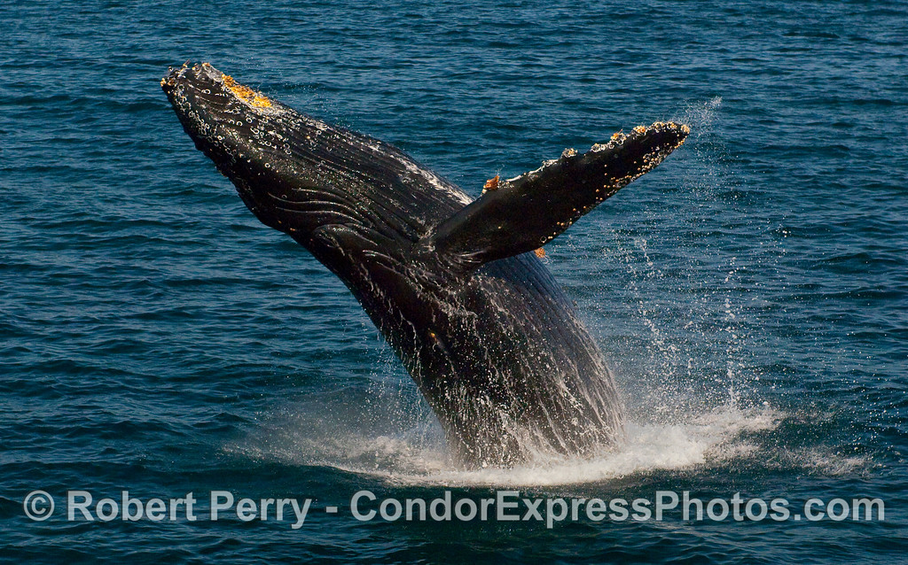 Humpback Whale (Megaptera novaeangliae) breaching - image 1 of 2.