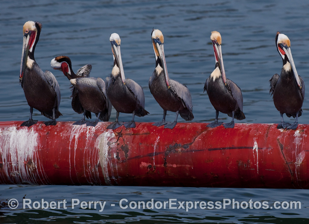 Beautiful Brown Pelicans (Pelecanus occidentalis) perched on the dredge pipe inside Santa Barbara Harbor.