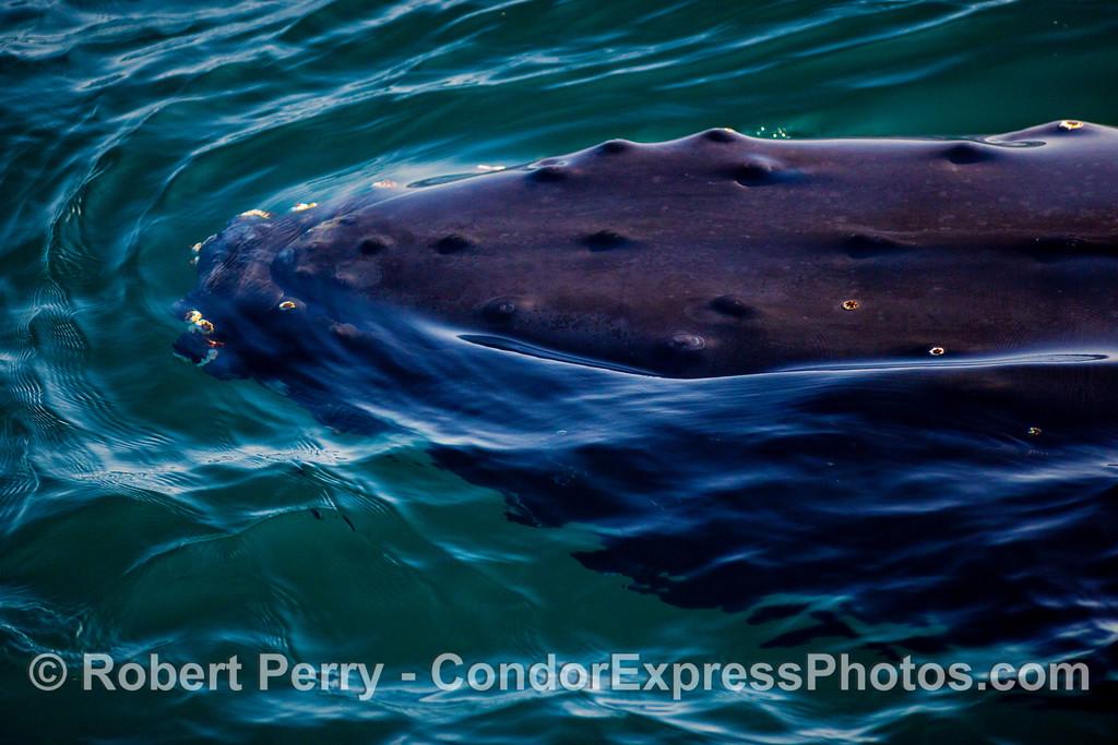 Left side of head - Humpback Whale (Megaptera novaeangliae).