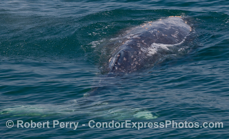 The back half of a Gray Whale (Eschrichtius robustus), the tail is the light blue shape under the water.
