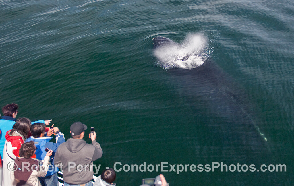 Another friendly, spouting Humpback Whale (Megaptera novaeangliae).