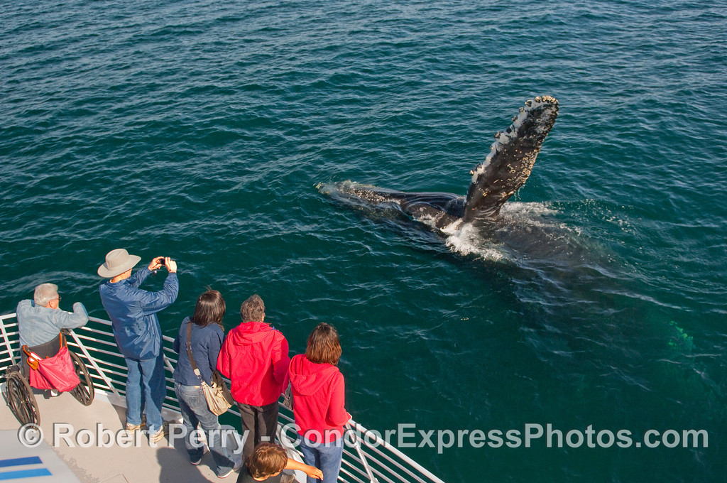 A fully trained Humpback Whale (Megaptera novaeangliae) waves at the people.  Kodak moment #257.