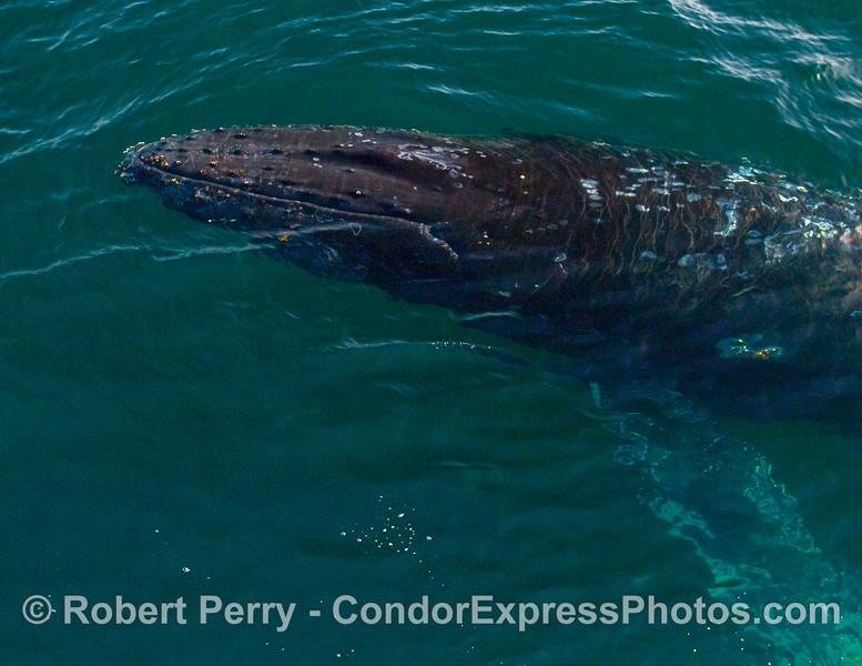 Portait of a Humpback Whale (Megaptera novaeangliae).