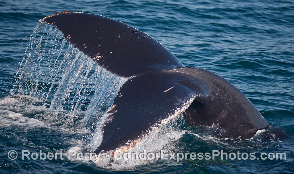 The mighty tail flukes of a Humpback Whale (Megaptera novaeangliae).