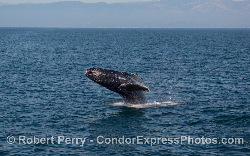 A Humpback Whale (Megaptera novaeangliae) breach sequence, image 3 of 4 - full lay-out.