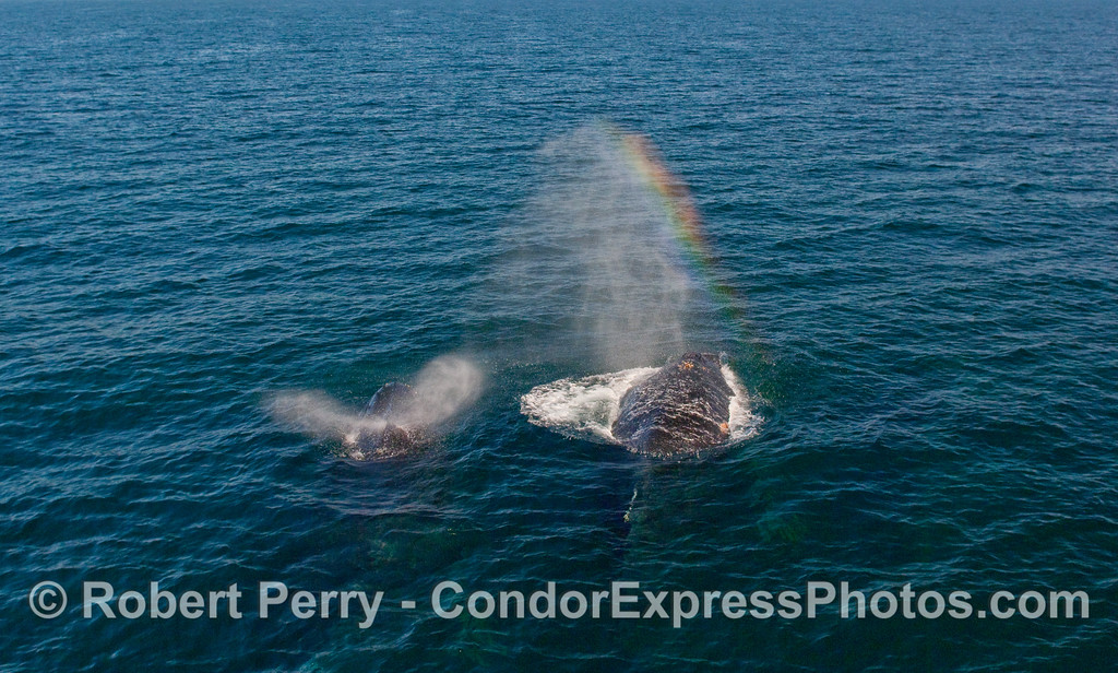 Two Humpback Whales (Megaptera novaeangliae) spout and create a rainbow in the sun.