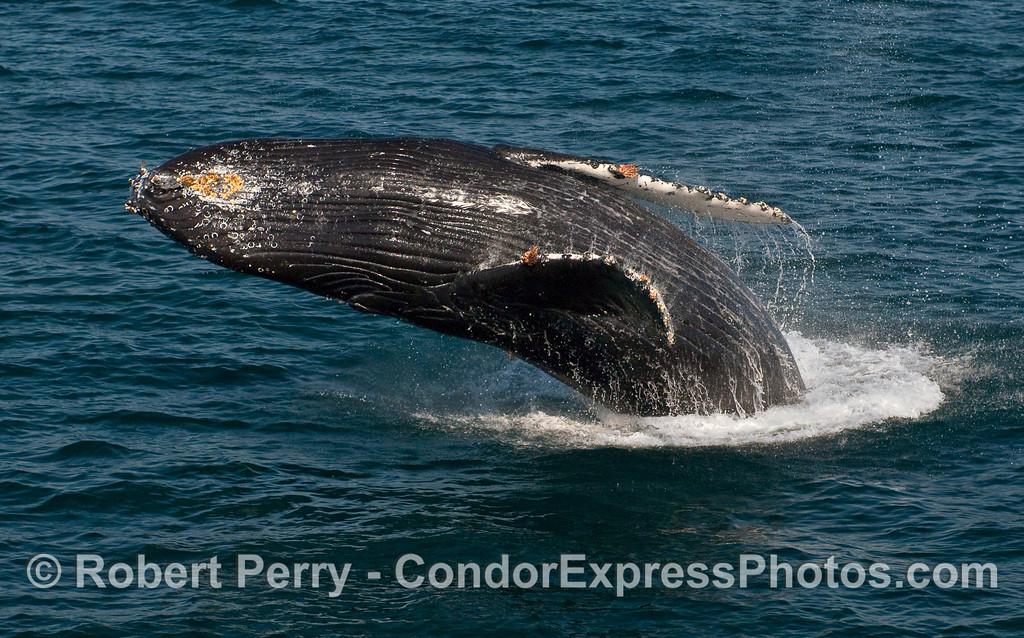 Humpback Whale (Megaptera novaeangliae) breaching - image 2 of 2.