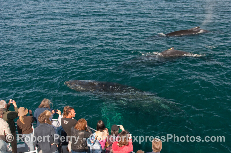 Line 'em up!  Three friendly Humpback Whales (Megaptera novaeangliae) pass by the whalers on the Condor Express.
