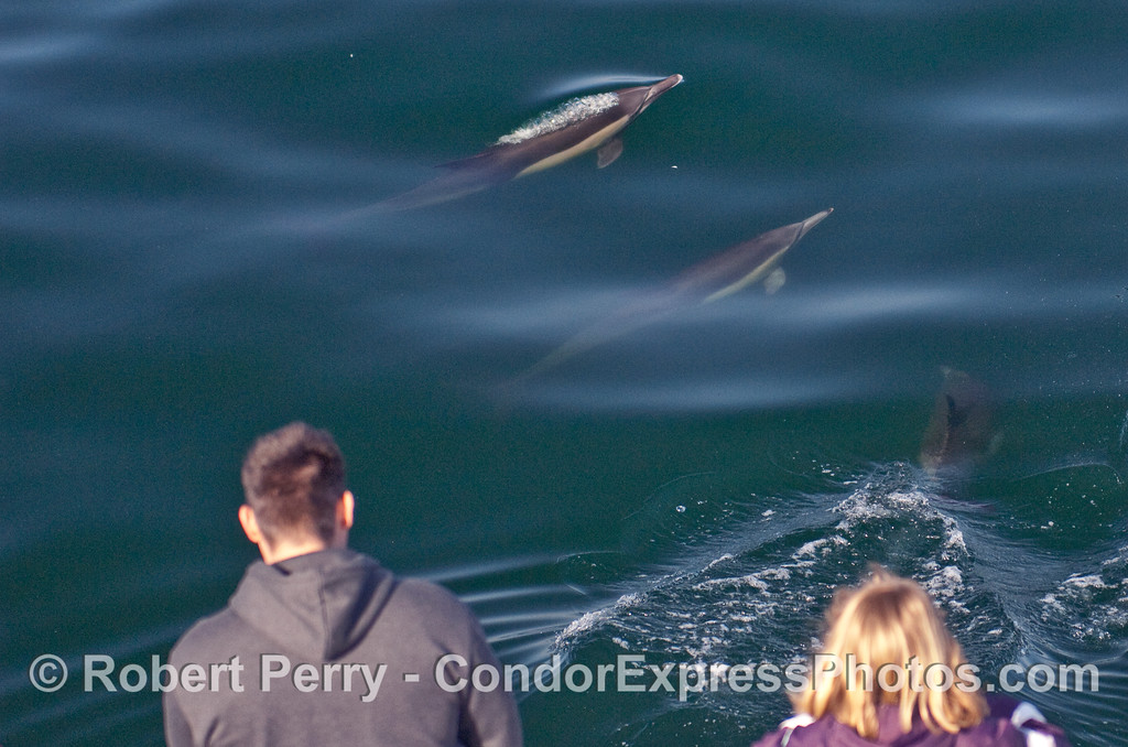 Common Dolphins (Delphinus capensis) come up to visit the whalers on the bow of the Condor Express.