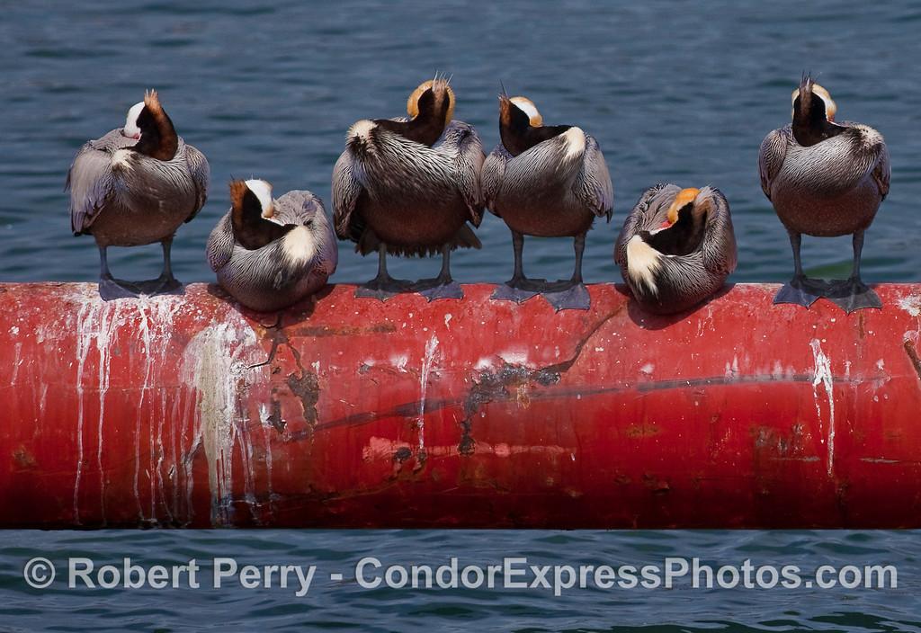 Sleeping Brown Pelicans (Pelecanus occidentalis) on the dredge pipe, Santa Barbara Harbor.