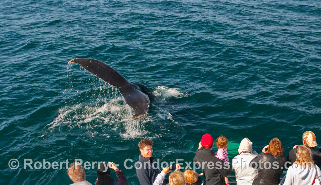 A Humpback Whale (Megaptera novaeangliae) shows its tail flukes as the photographers click away!