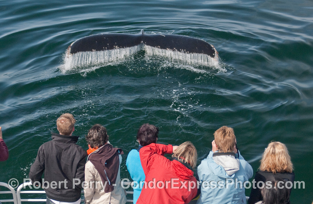 A friendly Humpback Whale (Megaptera novaeangliae) shows its tail fluke waterfall to the lucky  whalers.